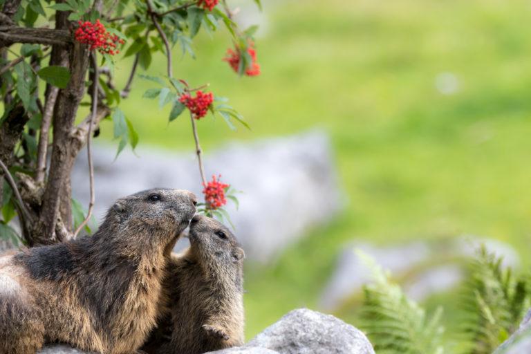 Sektionsabend mit Vortrag: Ein tierisches Bergjahr